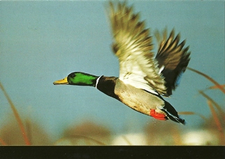 25 Postcards ( OF The Same Design) Postcard of Mallard (Anas plt