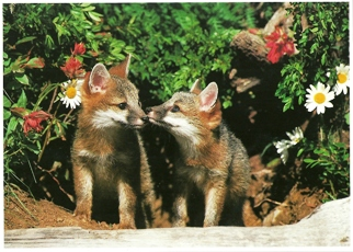 20x Postcard of Gray Fox Cubs (Urocyon cineroargenteus)