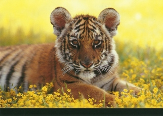 25 Postcards ( OF The Same Design) Postcard of a Tiger (Panthera