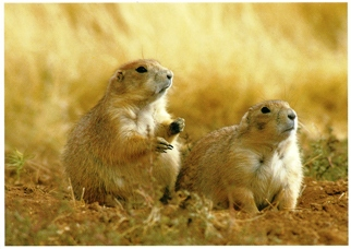 21x Postcard Of Prairie Dog (Cynamys ludovicianus) North America