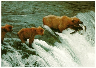 15x Postcard Of A Grizzly Bear And Cubs (Ursus arctos)