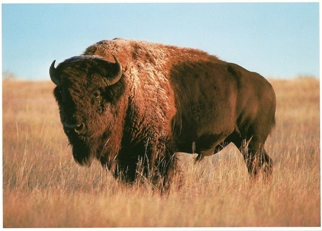 14x Postcard of Bison (Bison bison) North American Wildlife
