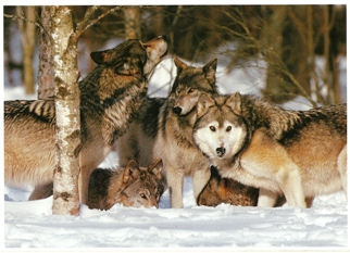 Postcard Of Gray Wolfs (Canis lupis)