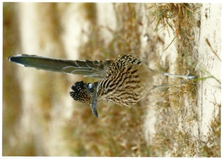 18x Postcard Of A Greater Roadrunner (Geococcyx californianus)