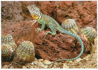 16x Postcard Of A Collared Lizard (Crotaphytus callaris) North A