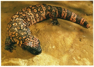 26x Postcard Of Gila Monster (Heloderma suspectrum)