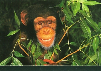 25x Postcard of Chimpanzee (Pan trog