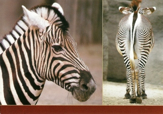 25 Postcards ( OF The Same Design) Postcard of a Zebra (Equus bu