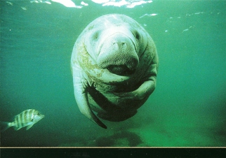 Postcard of a Manatee (Trichechus manatus)Marine Life.