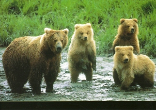 25 Postcards ( OF The Same Design) Postcard of Grizzly bears (Ur