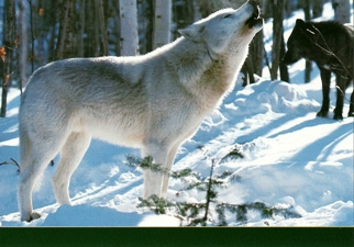 25x Postcard of Gray Wolf (Canis lupus) North America Wildlife