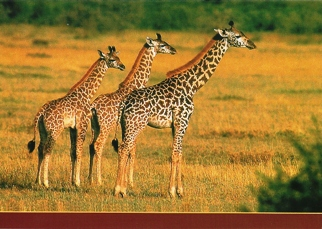 25 Postcards ( OF The Same Design) Postcard of Masai Giraffe (Gi