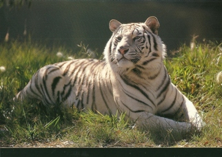 25 Postcards ( OF The Same Design) Postcard of Tiger (Panthera t