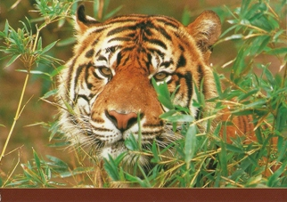 Postcard of a Sumatran Tiger (Panthera tigris)