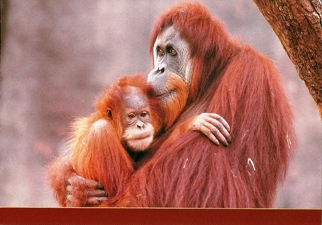 25x Postcard of Orangutan