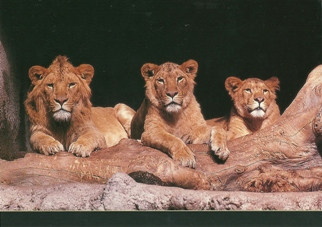 25 Postcards ( OF The Same Design) Postcard of Lion cubs (Panthe