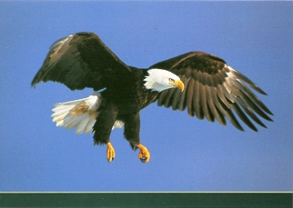 25 Postcards ( OF The Same Design) Postcard of Bald Eagle (Halia