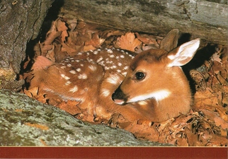 25 Postcards ( OF The Same Design) Postcard of White-tailed Fawn