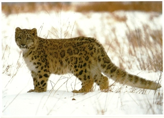 Postcard Of Snow Leopard (Panthera unica) Exotic Wildlife