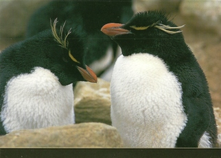 25x Postcard of a Rockhopper Penguin