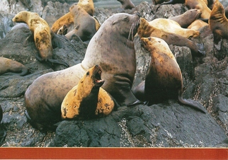 Postcard of Steller's Sea Lion (Eumetopias jubata) Marine Life