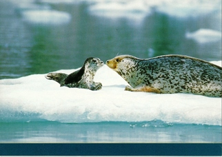 25 Postcards ( OF The Same Design) Postcard of Harbor Seal (Phoc