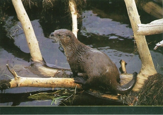 19x Postcard of River Otter (Lutra Canadensis) Marine Life