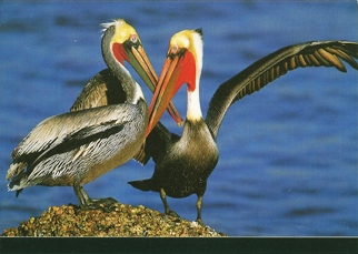 25 Postcards ( OF The Same Design) Postcard of Brown Pelican (Pe