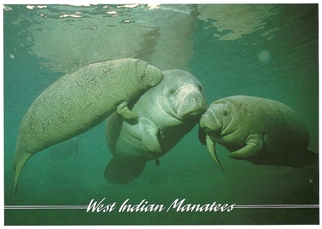 Postcard Of West Indian Manatees