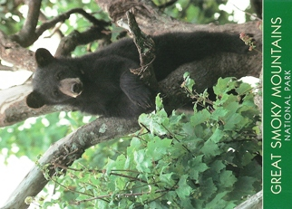 23x Postcard Black bear cubs GREAT SMOKY MOUNTAINS NATIONAL PARK