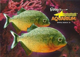 27X Postcard of Piranha Ripley's Aquarium Myrtle Beach, SC