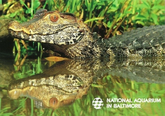 Postcard Of Dwarf Caiman NATIONAL AQUARIUM IN BALTIMORE.