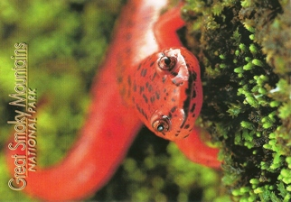 19x Postcard Northern Red Salamander GREAT SMOKY MOUNTAINS NATIO