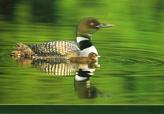 25 Postcards ( OF The Same Design) Postcard of Common Loon (Gavi