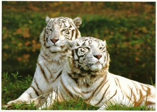 19x Postcard Of White Bengal Tigers (Panthera tigris) Exotic Wil