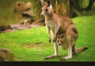 25 Postcards ( OF The Same Design) Postcard of Kangaroo (Macropu