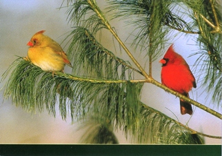 Postcard of Northern Cardinal (Cardinalis cardinalis)