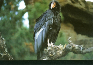 25 Postcards ( OF The Same Design) Postcard of California Condor