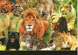25x Postcard of Exotic Wildlife (Big Cats)