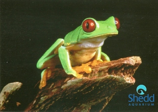 31X Postcard Red-eyed Tree Frog SHEDD AQUARIUM