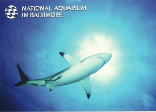 35X Postcard of Blacktip Shark (Carcharhinus limbatus) NATIONAL