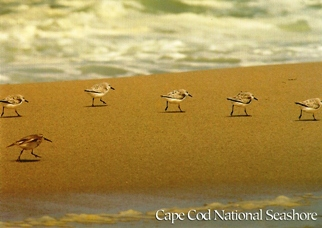 30x Postcard Of shorebird nesting areas CAPE COD NATIONAL SEASHO