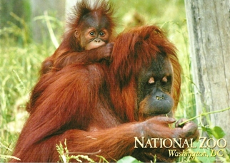 20x Postcard Of ORANGUTAN NATIONAL ZOO , Washington, DC