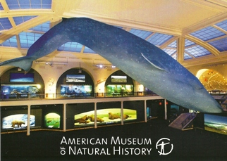 31x Postcard Of Blue Whale American Museum of Natural History