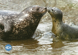 30X Postcard Of Harbor Seal (Phoca vltulino) New England Aquariu