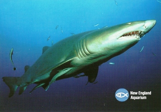 30X Postcard Of Sand Tiger Shark (Carcharias Taurus) New England