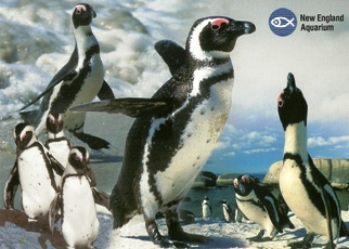 21X Postcard Of African Penguin (Spheniscus demersus) New Englan