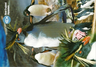 24X Postcard Rockhopper Penguin (Eudyptes chrysocome) New Englan