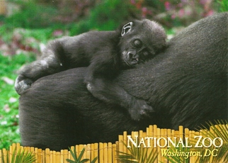 20x Postcard of WESTERN LOWLAND GORILLA NATIONAL ZOO, Washington