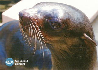 24X Postcard Fur Seal (Callorhinus ursinus) New England Aquarium